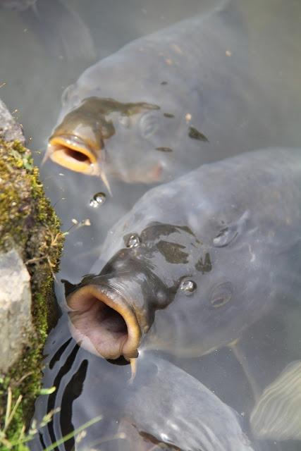 Best 36 bowfishing images on pinterest outdoors for Larry king fish oil