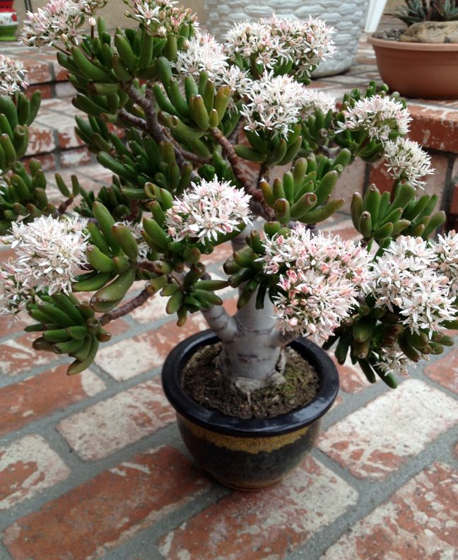 crassula ovata, 'Gollum' in flower