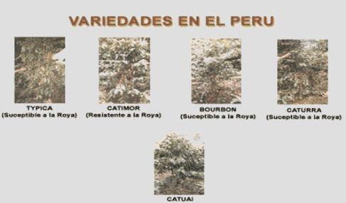 Café Peruano: Producto de exportación - Monografias.com