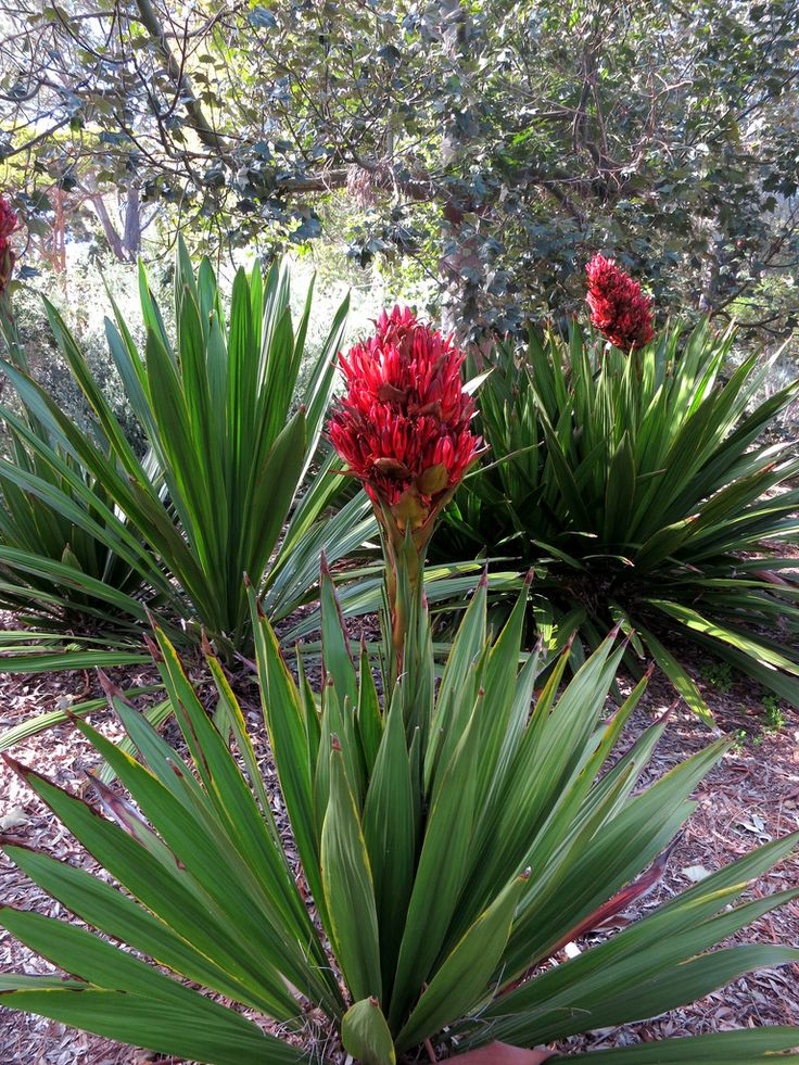 doryanthes excelsa - Google Search