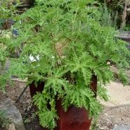 "Tips for growing ""Mosquito plant"" {citronella geranium}"