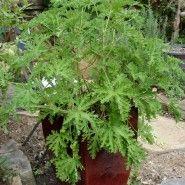 """Tips for growing """"Mosquito plant"""" {citronella geranium}"""