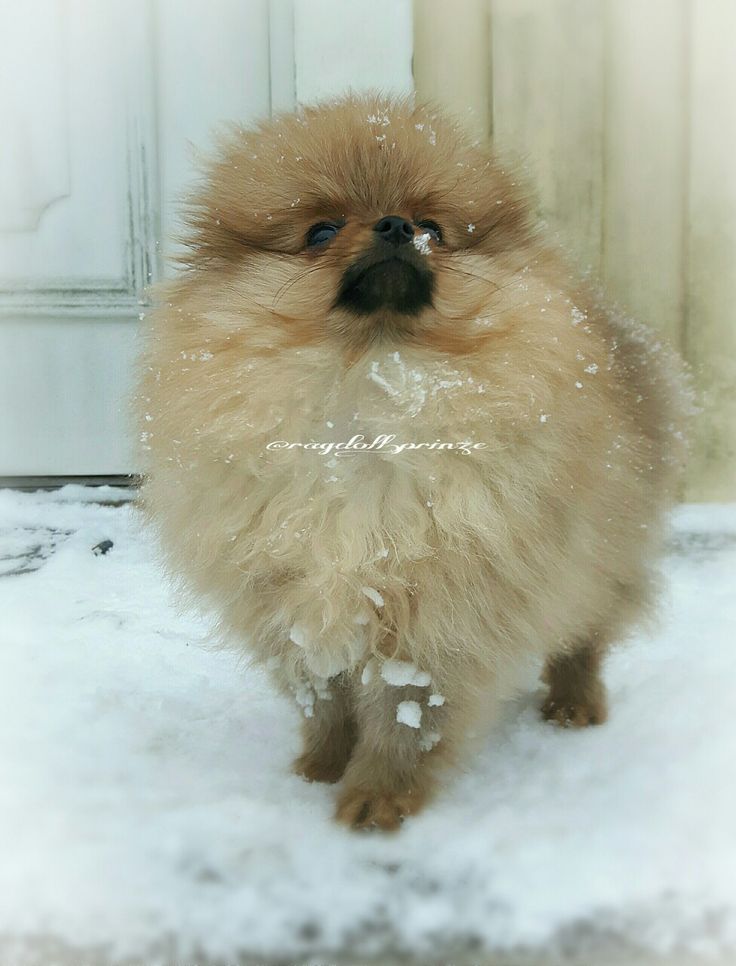 This is my Teddy. Dwarf red Pomerainan. Not cut.