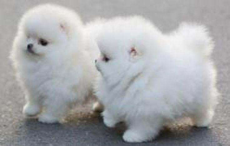 Animals For > White Teacup Pomeranian Price