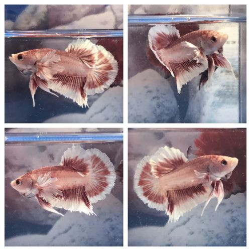 Half moon bettas aquarium pinterest betta for Betta fish life span