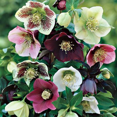 Hellebores: very low maintenance required for these winter blooming, shade-loving, evergreen perennials.