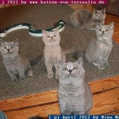 Britische Katzen warten auf UFO - Landung