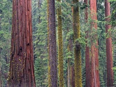 Sequoia Sempervirens, Mariposa Grove, Yosemite National Park, Tim Fitz