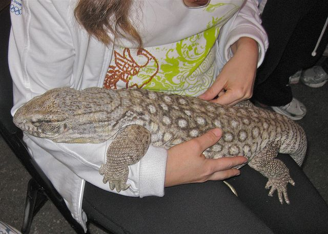 Savannah Monitor Lizard... Almost the same colour as my baby savannah. But my baby is a lot more colourful!! P.S. when savannah monitors close their eyes it means they are trying to picture you not their because they think you are a predator.