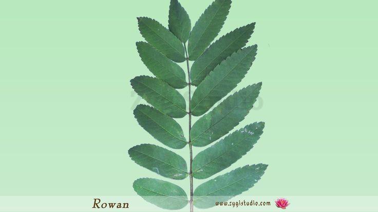Timelapse of Drying Rowan Tree Leaf