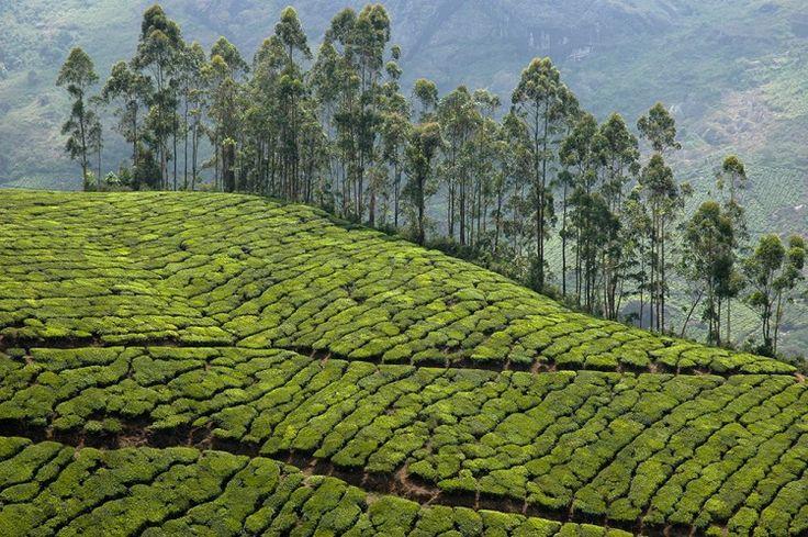 Lonely Planet Italia - Piantagioni di te nella località di Munnar - Kerala - India del sud