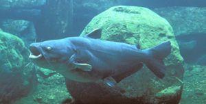 Blue Catfish Images