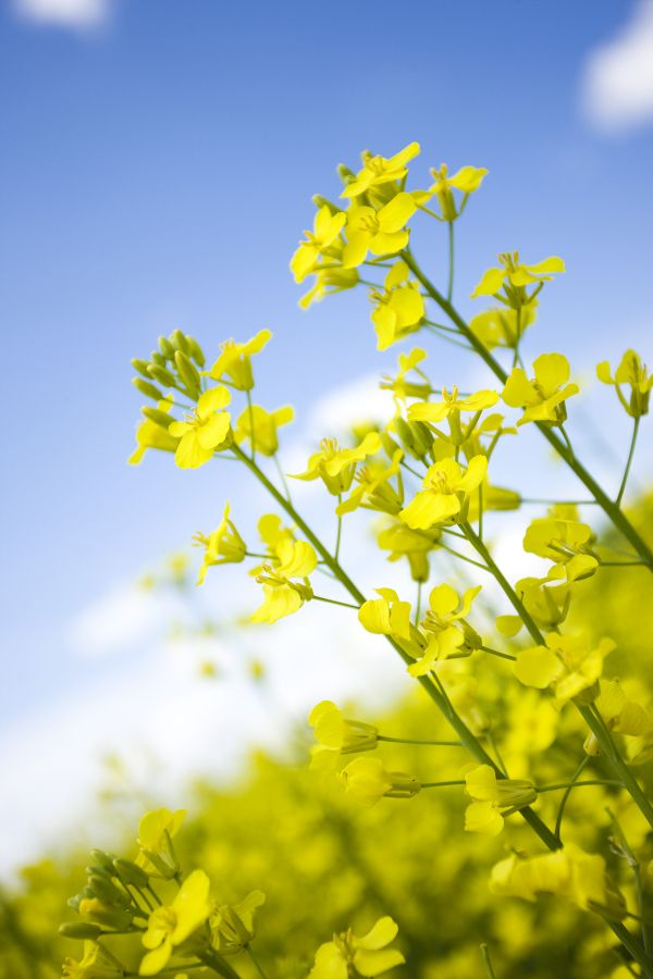 Canola Fields and Flowers.
