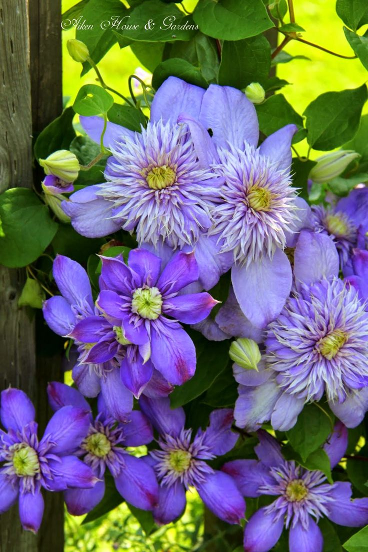 Best Clematis Celebration Images On Pinterest Flowers - House garden with flowers