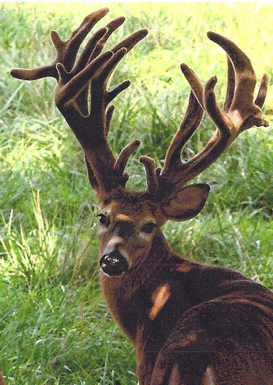 Monster Whitetail Deer Pictures | Guided Alligator Hunting,Guided Monster Whitetail Deer Hunts,Wild Boar ...