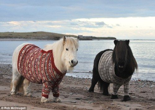 I dont know why i love this so much!  Shetland Ponies in the Shetlands wearing Shetland knits.