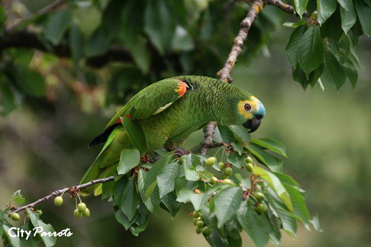 Blue-fronted Amazon (Amazona aestiva) | Flickr - Photo Sharing!
