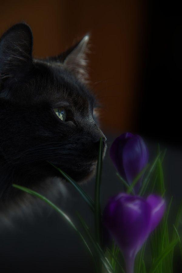 Black cat with purple crocuses...