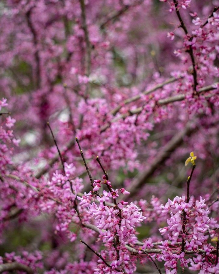 The Cherry Blossoms Are In Bloom At The Japanese Garden In Houston Texas Cherryblossoms Houstonphotographer Housto Red Peppercorn Instagram Plants