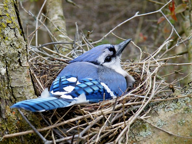 The gallery for --> Blue Jay Nests And Eggs