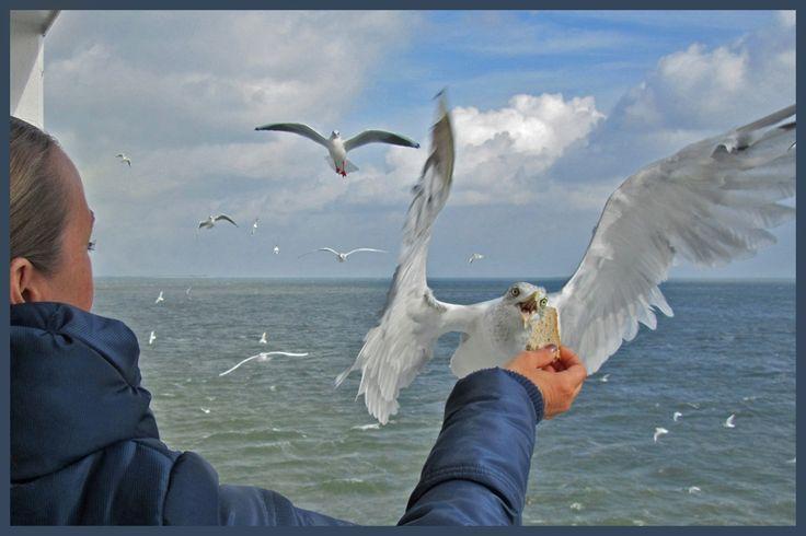 Op de boot naar Texel, oud brood meenemen om de meeuwen te voeren !