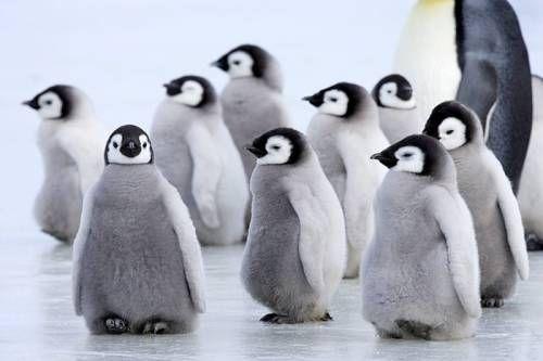 仲睦まじい皇帝ペンギンの親子の写真11枚   世界の笑えるオモシロ画像