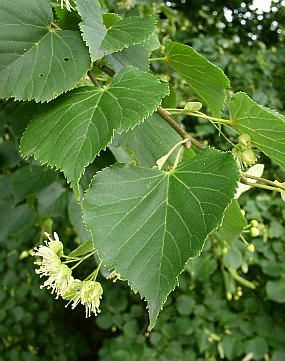 Lípa malolistá, též lípa srdčitá (Tilia cordata) je statný strom z čeledi slézovitých