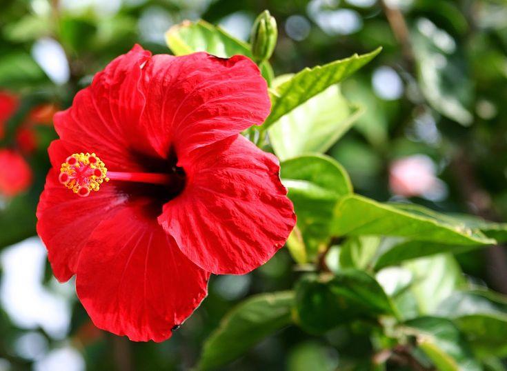 Cosecha tu belleza: Champú de Sábila y Flor de Cayena (Hibiscus rosa-sinensis)