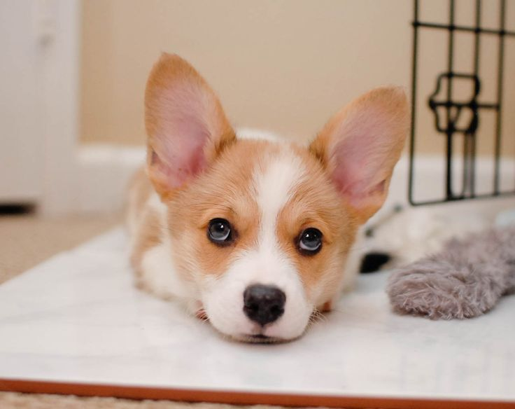 Corgi giving puppy dog eyes
