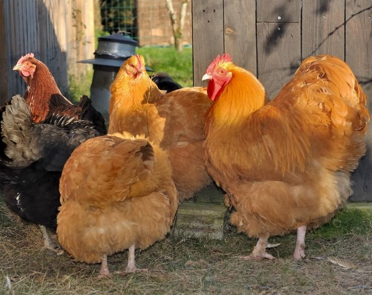les 25 meilleures id es de la cat gorie lever des poulets sur pinterest lever des animaux de. Black Bedroom Furniture Sets. Home Design Ideas