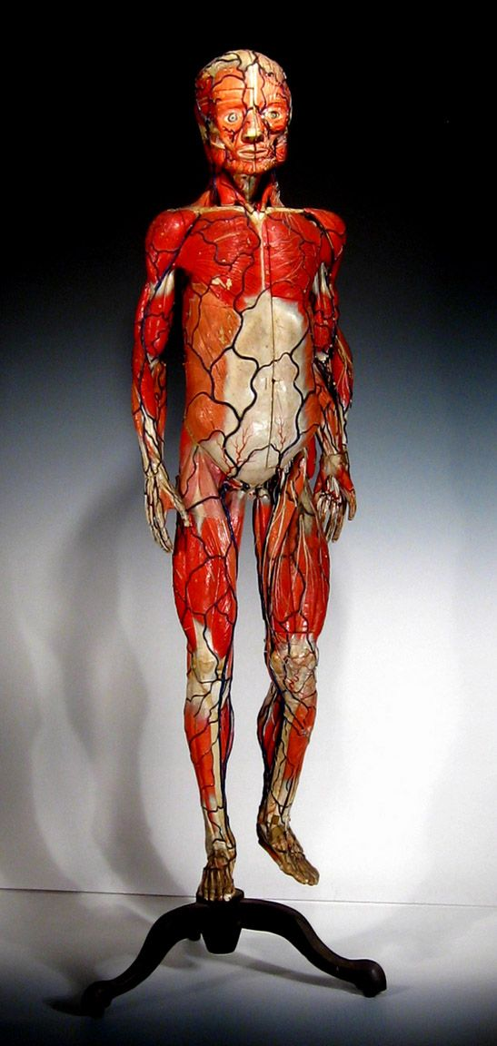 144 best Auzoux images on Pinterest | Agriculture, Anatomy models ...