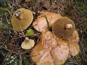 Maślak występuje zwykle na terenach piaszczystych, ale nie ma specjalnych upodobań glebowych.
