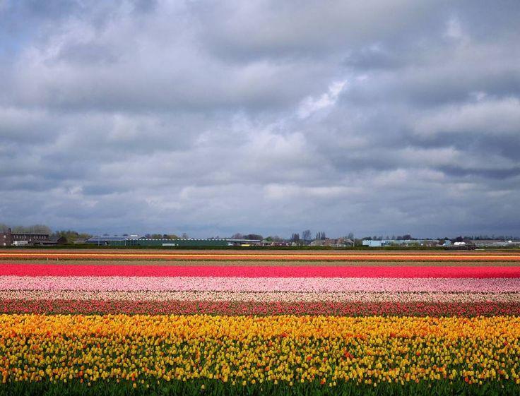 Бескрайние тюльпановые поля Голландии - смотреть и медитировать #Holland #tulips #бени2016 by zhbyashtsi