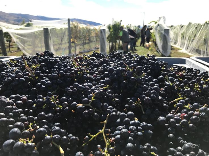 Picking Rosé from Block 5. Harvest 2017.