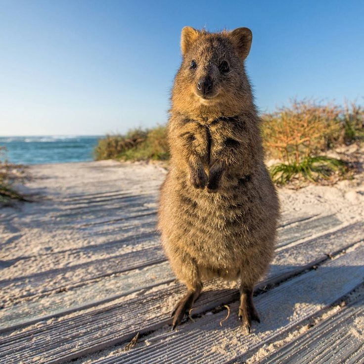by Allan Dixon :「You were born to stand up tall! Show off your talent in life and don't listen to anyone who tries to put you down. Rise up!  This quokka knows what I'm talking about. #HappyQuokkaMonday @quokkahub #Quokka」