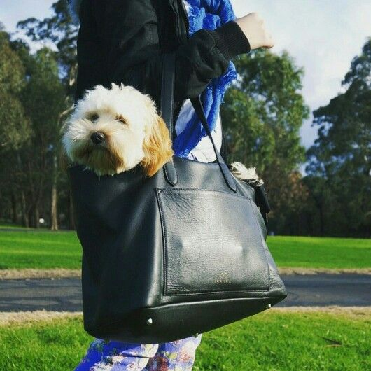 """When we called this a hardy """"carry everything"""" #leather bag, a #pooch isn't exactly what we had in mind! Photo courtesy of @muffinthecavoodlegirl"""