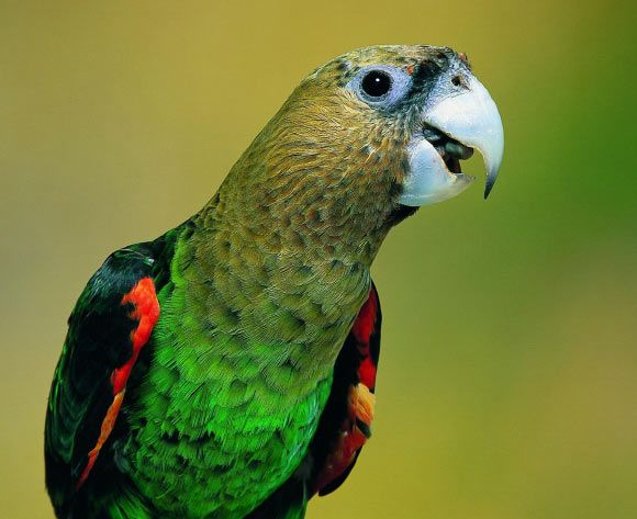 Birds are remarkably intelligent. Some parrots and corvids achieve primate-like…