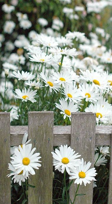 shasta daisies..