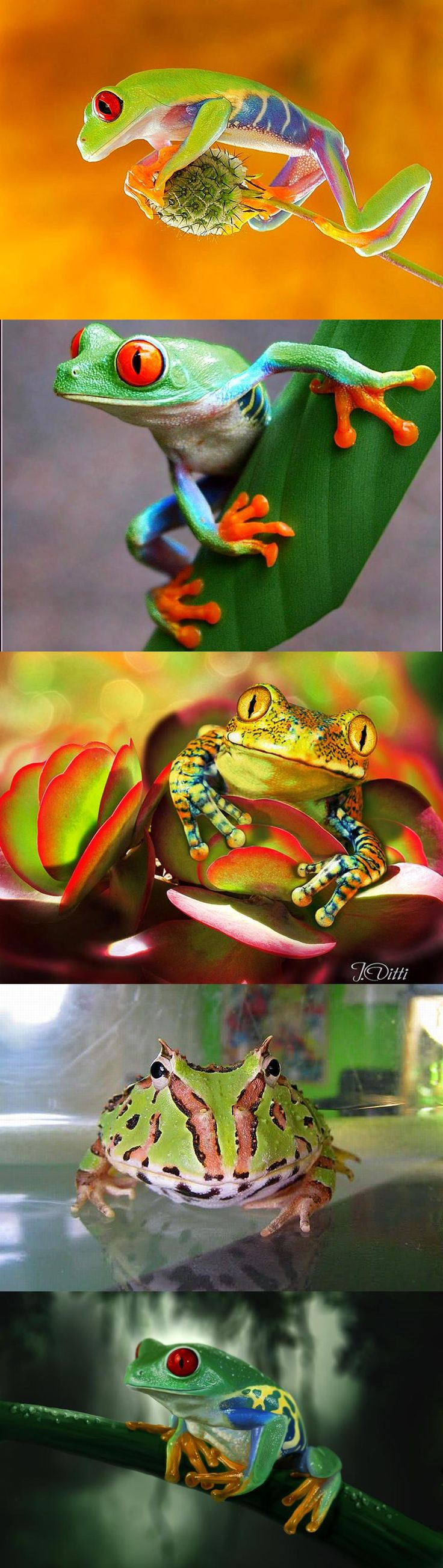 Colorful Frogs / these little frogs are so adorable - we will not discuss the rather large gentleman...