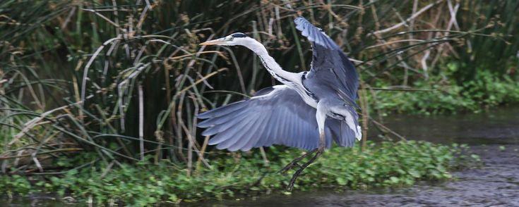 Ngorongoro Conservation Area: Heron