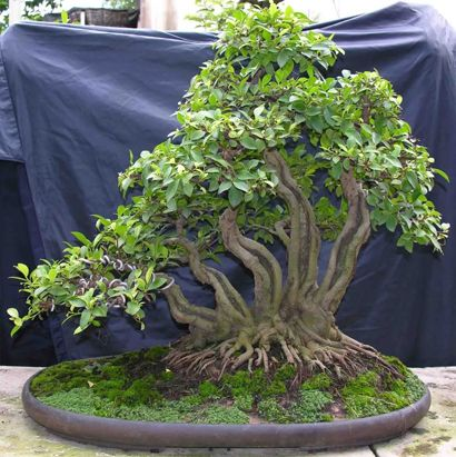 The Bonsai of Lam Ngoc Vinh- Ficus