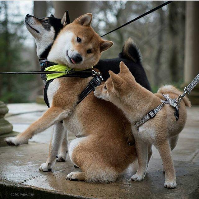 Best friends ❤ Shiba Inu Sekai..!