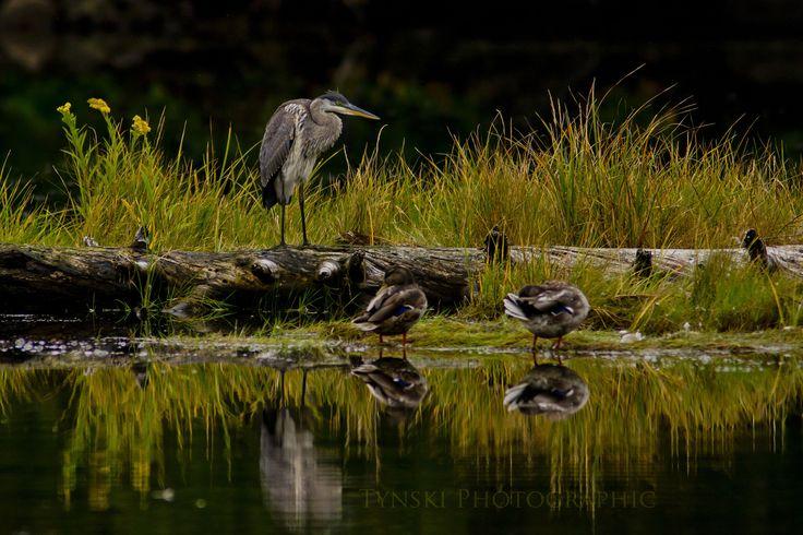 Heron Ducks