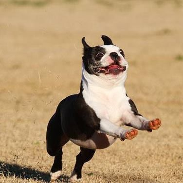 Look at his face. This is so funny. LOVE HIM. GOGO BOSTON TERRIER