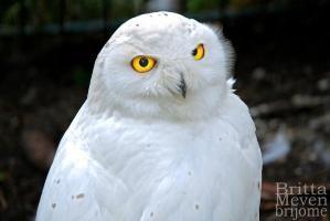 Snow Owl by Deborah OBrien