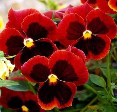 Flores vermelhas Amor Perfeito