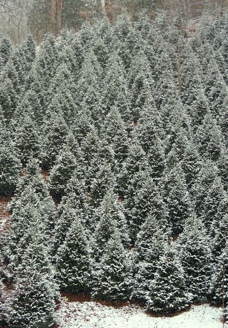 Snow covered Christmas trees in the North Carolina mountains near Banner Elk