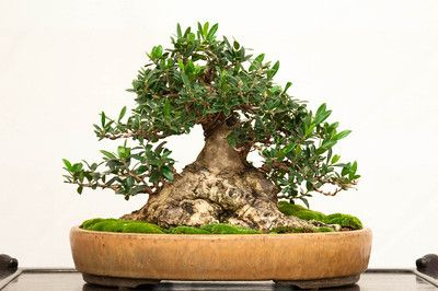Olive – 50 years: Tags, Ficus Bonsai, Reb Written, Dupuich Photo, Reb 28Th, Bonsai Tonight, Olives Bonsai, Jonas Dupuich,  Flowerpot