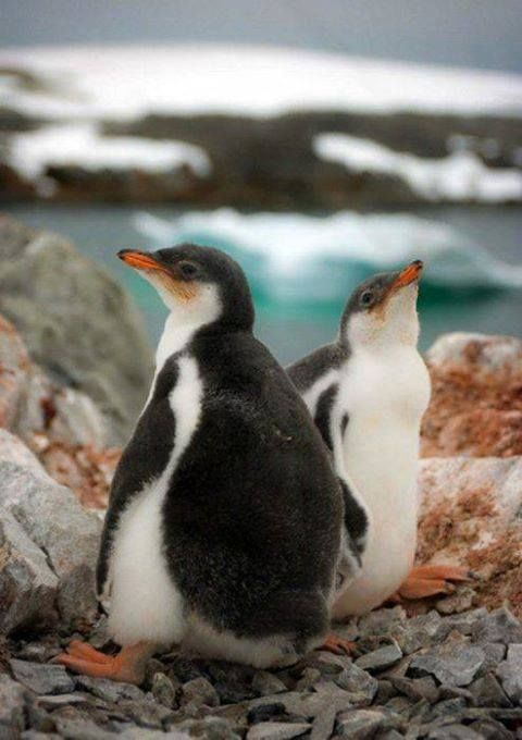 1000+ images about Ducks & Penguins on Pinterest | African ...