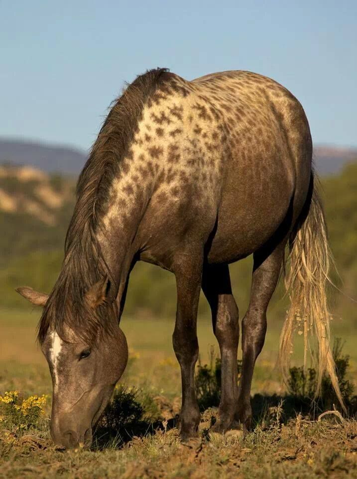Mustang with rare AAA special leopard complex gene.